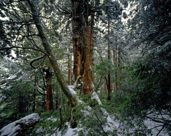 cedar forest, winter, snow
